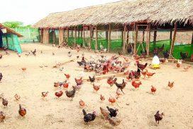 Natmauk residents run small-scale baby chick production