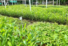 50,000 seedlings to be distributed free of charge in Kayan, Kyauktan, Thanlyin townships