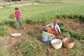 Bamauk residents choose peanuts as more profitable crop