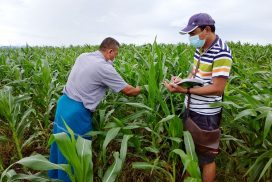 50,995 acres of monsoon maize to be planted in Myawady