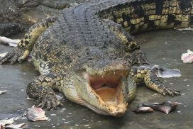 Survival of crocodiles in protected nature reserves