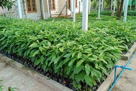 50,000 seedlings of various trees to be distributed free of charge in Maukmai