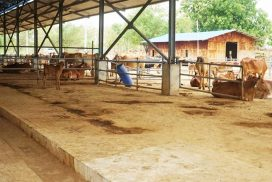 Success in cattle breeding found at Yae Pyae Village