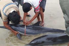 Two dolphins spotted stranded on Gyainggee beach, Shwethaungyan town