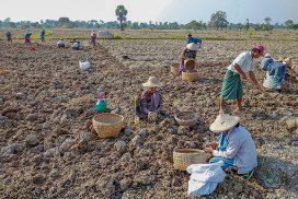 Turmeric growers in Kyaukse happy with good price of stock