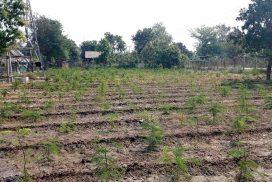 Kinpunchin farms provide family income in Minbu, Magway region
