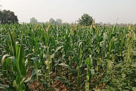 Corn export tops $331.49 mln in first half of 2020-21 FY