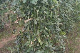Long bean selling well in Natmauk Township