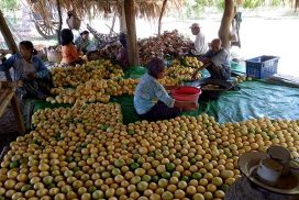 Myanmar earns $278 mln from mango exports in H1