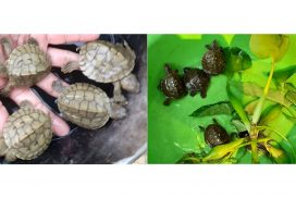 Rare Myanmar Roofed Turtles hatch for first time in ten years at Lawkanandar Wildlife Sanctuary