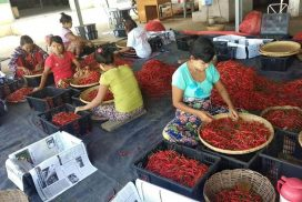 Yamethin Township to cover 60 acres of chilli pepper under Food Safety Project