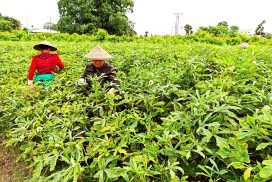 Lucrative ladies' fingers attract farmers to grow all year round