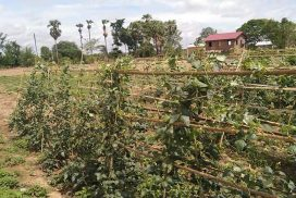 Experimental cultivation of long bean succeeds