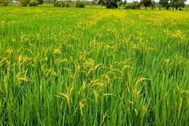 Due to lack of irrigated paddy field, rain-fed paddy makes main crop in Myeik
