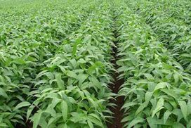 Soybean price rises on steady demand