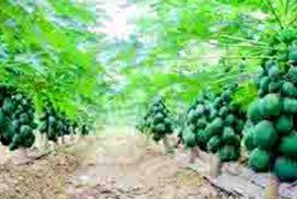 Improved Taiwan papaya production brings happiness through increased income to farmers