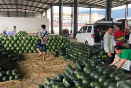 Watermelon growers suggested 50% production drop next growing season