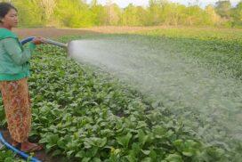Lettuce farmers earn extra incomes in Kyaukpadaung Township