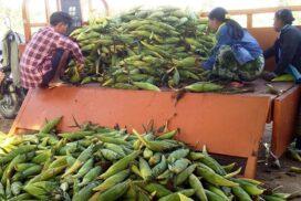 Myanmar corn export exceeds $392 million in seven months