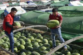 Watermelon price decreases by half as against last year