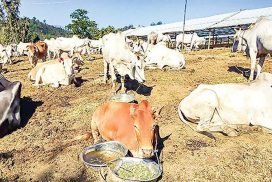 About 7,000 cattle stranded in Muse