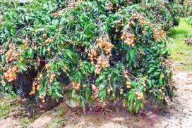 Longan fruit transactions rise in Mongywang