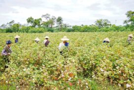 Mandalay Agriculture Dept to cover 150,000 acres of cotton regionwide