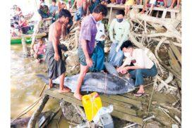 Irrawaddy dolphin found dead in Pakokku