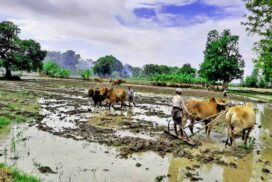 Monsoon paddy cultivated with irrigation water from Mezali Diversion Weir in Pwintbyu Township
