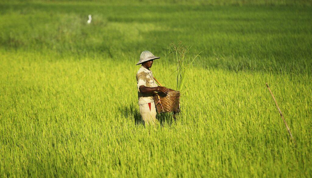 Myanmar rice paddy agriculture farmer seed fertiliser thilawa mk02