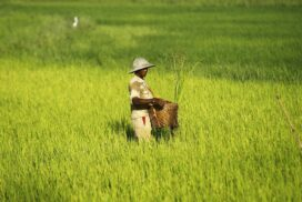 Seed processing plants in Shwebo District expected to run for monsoon rice crop this year