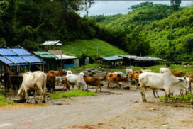 Chinese importers daily trade 2,000 cattle on black market