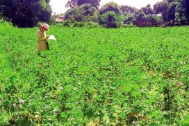Pigeon pea price remains on upward trend