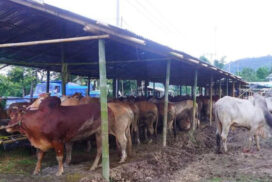 6,000 cattle stranded in Muse since 2020-end