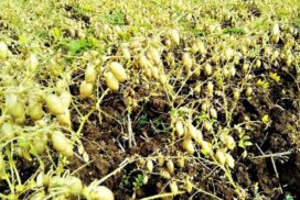 Chickpea price up by K25,000 per bag within one month
