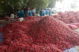 Myanmar fresh chilli pepper export to  Thailand drops this year