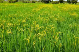 More than 1,000 acres of monsoon paddy cultivated in ChaungU this year