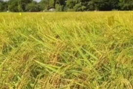 More than 34,000 acres of monsoon paddy to develop in Kyunhla
