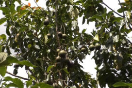 Pinkerton avocado starts to sell in third week of August