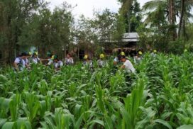 Sagaing Region expects to meet target of corn sown acreage by September