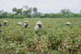 Cotton plantations in ChaungU thriving this year
