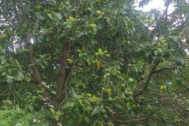 16 acres of avocado cultivation completed in Naga area this year