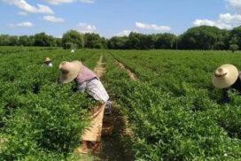 Sagaing grows 51 acres of dry chilli this monsoon season