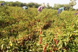 Rising input costs drop half chilli cultivation acres