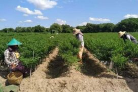 Over 4,000 acreages of kitchen crops completed in Sagaing Region