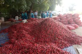 Export price of Myanmar fresh chilli pepper likely to climb up