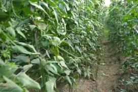 Long bean growers earn daily income in Kyaukse