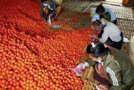 Demand for tomatoes high despite prices slump