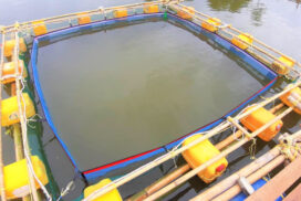 Cage aquaculture used for barramundi (seabass)  in addition to Tilapia