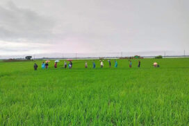Over 1,700,000 acres of monsoon paddy grown in Sagaing this year
